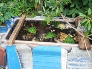 Aさんはモリアオガエルを孵化させている。福島事故後、奇形の多発などこれまで経験したことがないことが起こっているという。